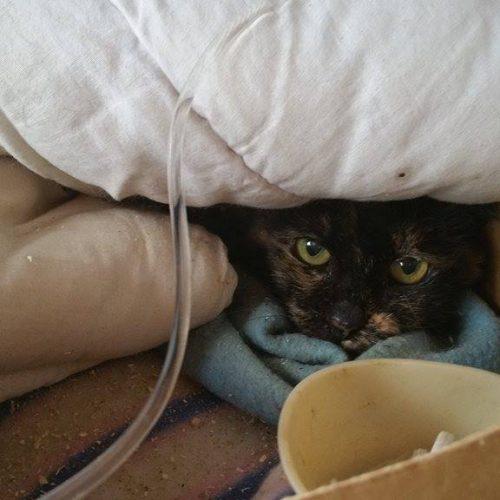 חתולת רחוב חולת כליות