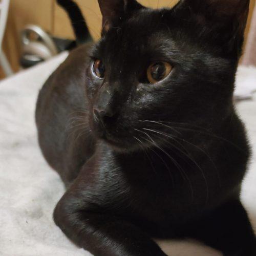 שחורי